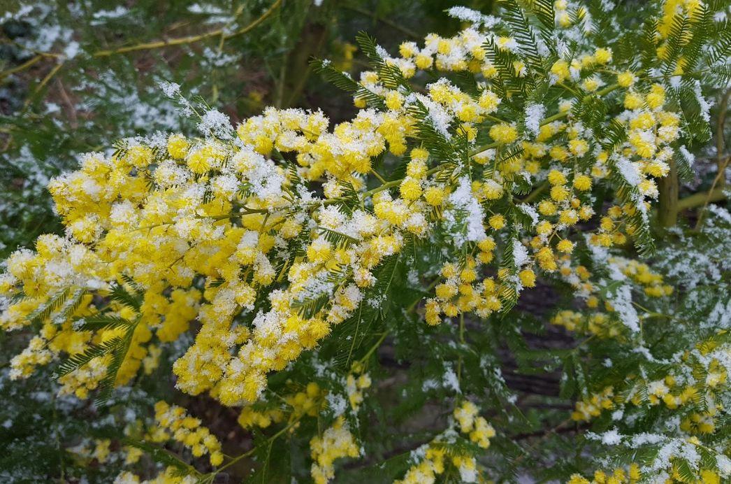 Цветы мимозы в снегу