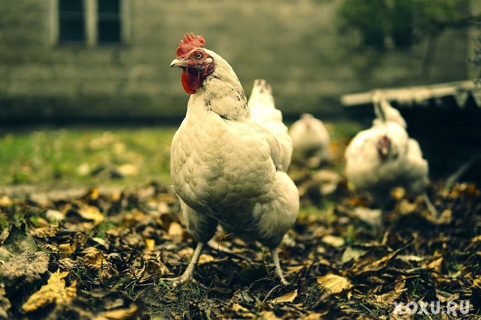 Как приготовить домашнюю курицу, чтобы она была мягкой и сочной